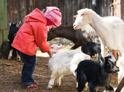picture of little girl petting a baby goat